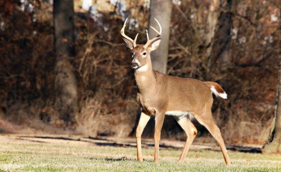 whitetail deer, deer in america, Whitetail Deer in America, Whitetail Deer in history, Whitetail Buck