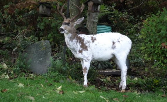 hidden hollow whitetail deer, piebald whitetail, piebald buck, whitetail deer mutations